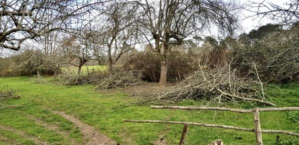 Renovating the apple trees